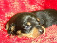 Ebbie is a black & & tan miniature dachshund male