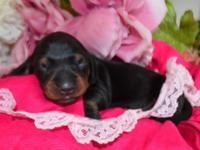 Quality Miniature Dachshund Puppies!!! This cutie is