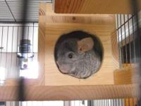 I have a male ebony Chinchilla who is two years old. He