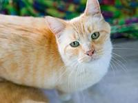 Echo's story DSH 10 yr Flame Point Mix Neutered Male