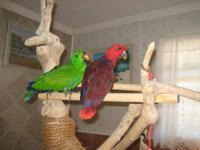 I have a pair of SI Eclectus chicks available. They are