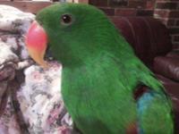 Eclectus - Hogan - Extra Large - Young - Male - Bird