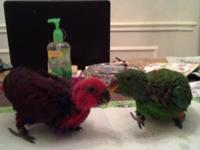SI eclectus parrot babies on hand feeding.Asking $1200
