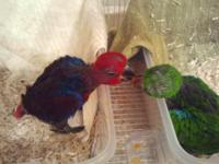 SI Eclectus babies on hand feeding . Asking $1200 ea