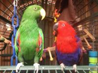 Green Vos Maerie Eclectus male. Red Solomon Island