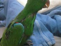 Male Red Sided  Eclectus Baby just weaning. Red