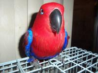 i'm selling a eclectus female that is about 6 years