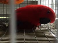 I have a beautiful Eclectus pair for sale and a super