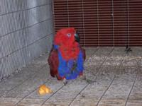 I have a proven pair of S I eclectus proven by me