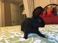 Eclipse is a gorgeous all black spayed female, who was