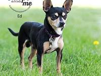 Ed's story Ed is a friendly little 1 year old min pin/