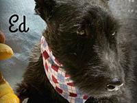 Ed's story Eddy is a lovely, gentle Scottie who gets