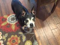 Eddie is an 8 year old Boston Terrier mix that is