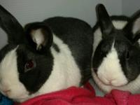 Eddie and Emmy are two adorable gray and white Dutch