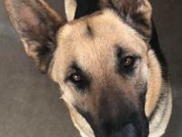 Meet Egypt! She is a beautiful, 3 year old GSD who has