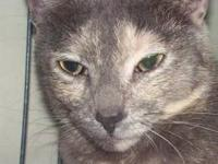 Egyptian Mau - Gianna ~extremely Sweet & Gorgeous!!~ -