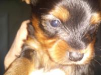 Five week old Teacup Yorkshire Terrier Puppy's Girls