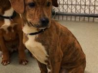 Einstein (2144) is a 4 mo old, neutered male, Boxer