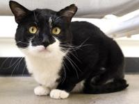 EINSTEIN is a dashing 2 year old male domestic short