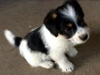 Male, short legged, Jack Russell puppy, 8 weeks old,