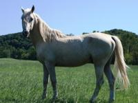 Swany is a 15.2 hand, gorgeous palomino Saddlebred