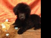 I have a litter of beautiful Standard Poodles. Parents