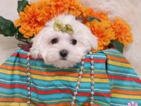 Elegant Tea-Cup Micro Maltese Puppies,( .Male and
