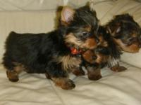 ELEGANT TEACUP YORKIE PUPPIES NEEDS FOREVER HOME.TEXT