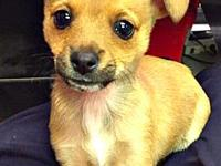 Elek's story Elek is a 3 month old Chihuahua mix. Elek