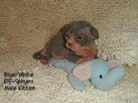 Blue/White Elf-Sphynx Male Kitten (straight ears) TICA