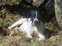 Litter of Elhew English Pointer puppies available. We