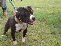 Eli/ Carver Pitbull Pups for Sale-ADBA Registered Born 03/24