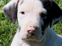 We have an AKC male harlequin Great Dane puppy looking