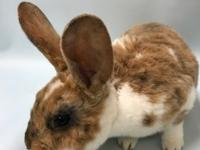Eli is a darling Rex rabbit. He is very very active and