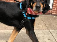 Elijah is a 4 year old Black and Tan Coonhound looking