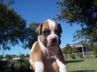Beautiful AKC Boxer pups, German bloodline, dew claws