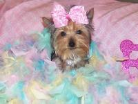 Elite Pet Boutique is offering Gucci - Teacup Morkie