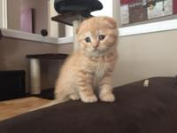 Elite Scottish fold kittens from Europe with