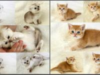 Open reservation for elite scottish fold and scottish