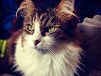 Eliza - Offered by Owner - Senior Maine Coon's story