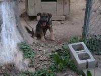 I have 3 female Elkhound&Cur puppy for sale asking $100
