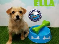 NAME:  Ella BREED:  Terrier mix SEX:  female COLOR: