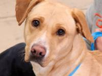Ella is a beautiful Lab mix, 18-24 months old, who is a