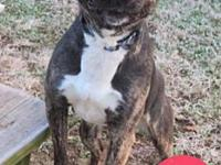 ELLA's story This brindle and white beauty will
