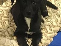 Ellie's story Ellie is a 4 month old lab mix, utd on
