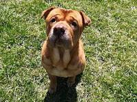 ELLIE's story ELLIE Female Spayed SHAR PEI MIX Intake