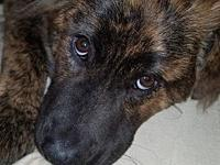Elliott's story Elliott is a brindle boy, who
