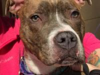 Elliott is an 8 month old neutered male American Pit