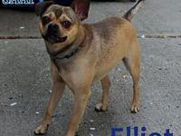 Elliott's story Elliot is a 1.5 year old chihuahua/pug