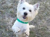 Meet Elliott! Elliott is a male westie, and is believed